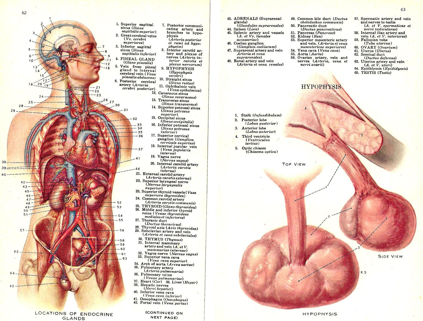 Podemos Regenerar Nuestra Dañada Glándula Pineal?