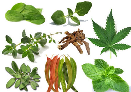 Several Plants And Herbs That Can Boost Lung Health Heal
