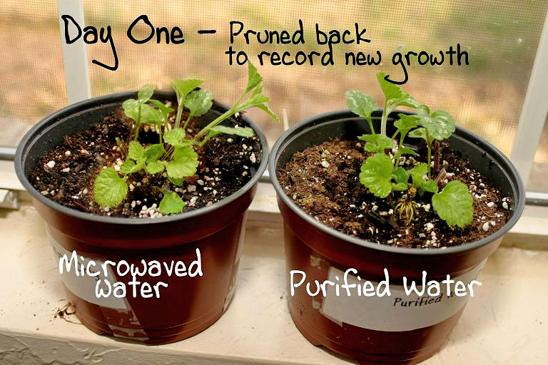 Microwaved Water Kills Plants Experiment