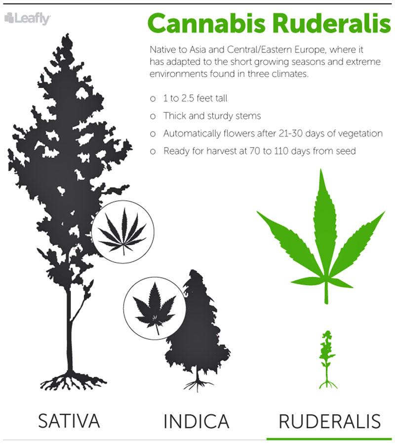 Cannabis Ruderalis The Often Overlooked Third Species Of