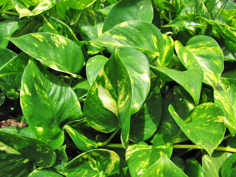 Four powerful air purifying plants to clean the air in for Best air purifying plants for bedroom