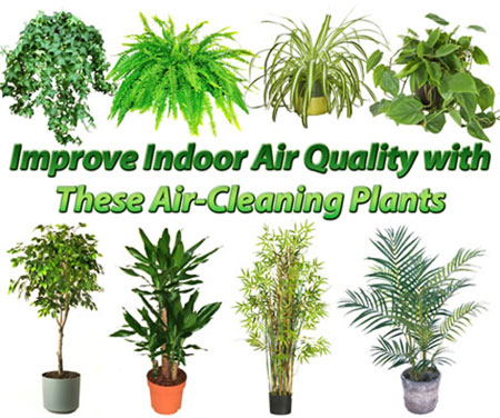 Cleaner Air In Their Homes Read On For 12 Plants That Purify The Around You As Well Which Specific Pollutant Each One Targets And Removes