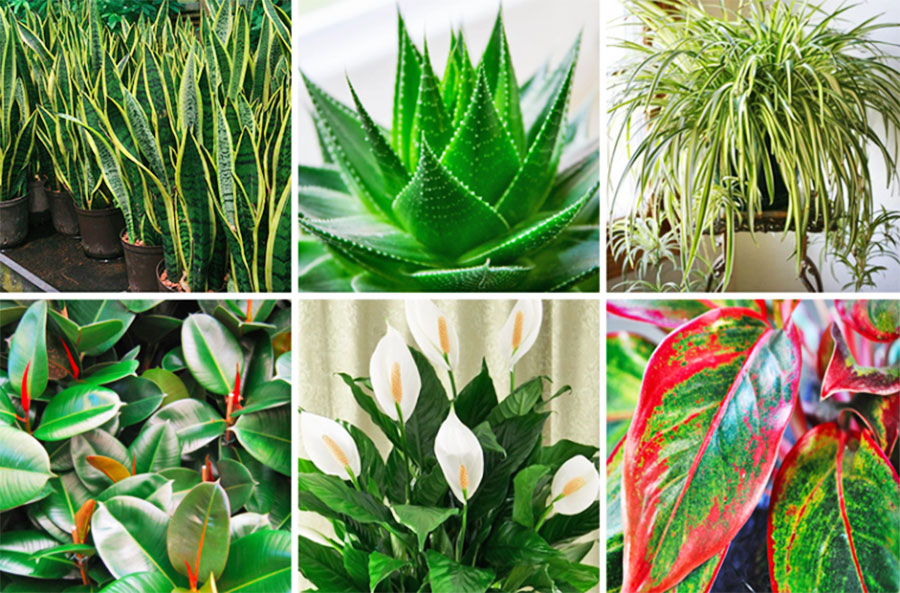 These Plants are Oxygen Bombs and they Clean the Air in Your