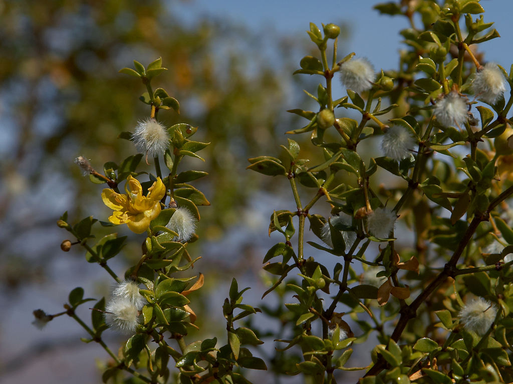 Chaparral Is Natural Medicine For Treating Cancer