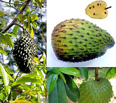 Frucht der stachelannone 100mal st rker f r die - Baum auf spanisch ...